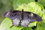 Großer gelber Mormon, männl., Papilio lowi