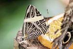 Zebra Mosaik Falter, Colobura dirce
