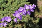 Pfirsichblättrige Glockenblume, Campanula persicifolia