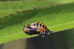 Marienkäfer, Puppe, Coccinellidae sp.