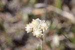 Gewöhnliches Katzenpfötchen, männl.,  Antennaria dioica