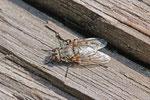 Schmeissfliege, weibl., Pollenia vagabunda
