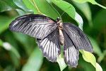 Scharlachroter Schwalbenschwanz, Papilio rumanzovia
