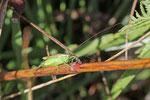 Langflügelige Schwertschrecke, männl., Conocephalus fuscus