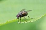 Echte Fliege, Phaonia sp.