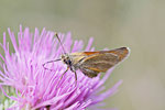 Braunkolbiger Braundickkopffalter, Thymelicus sylvestris