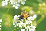 Himbeerbürsthornblattwespe, Arge melanochra