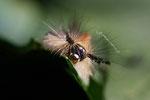 Raupe vom Schlehenspinner, Orgyia antiqua
