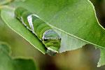 Raupe vom Scharlachroten Schwalbenschwanz, Papilio rumanzovia