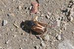 Dungkäfer, Aphodius prodromus/sphacelatus