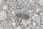 Schnellkäfer, Agriotes obscurus