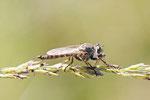 Gemeine Raubfliege, männl., Tolmerus atricapillus