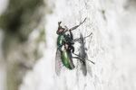 Blaugrüne Raupenfliege, männl., Gymnochaeta viridis