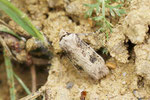Schmalflügelige Erdeule, Agrotis puta