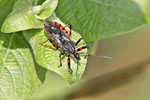 Geringelte Mordwanze, Rhynocoris annulatus
