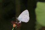 Faulbaumbläuling, Celastrina argiolus