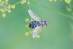 Späte Großstirnschwebfliege, Scaeva pyrastri