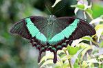 Grüngestreifter Schwalbenschwanz, Papilio palinurus