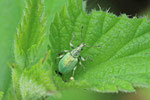 Nesselblattrüssler, Phyllobius pomaceus
