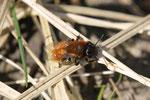 Rotpelzige Sandbiene, weibl., Andrena fulva