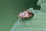 Gemeine Wiesenwanze, weibl. Lygus pratensis