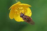 Erzschwebfliege, Cheilosia albitarsis/ranunculi