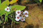 Pfeilkraut, Sagittaria sagittifolia