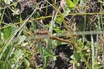 Kleiner Blaupfeil, weibl., Orthetrum coerulescens