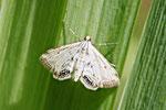 Wasserlinsenzünsler, Cataclysta lemnata