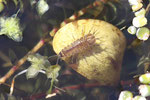 Wasserassel, Asellus aquaticus