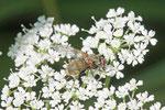 Echte Fliege, Phaonia angelicae