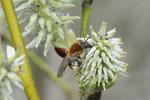 Rotschopfige Sandbiene, Andrena haemorrhoa