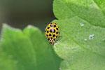 Zweiundzwanzigpunkt - Marienkäfer, Psyllobora vigintiduopunctata