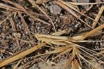 Rote Keulenschrecke, Larve, Gomphocerippus rufus