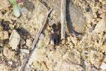 Eilkäfer, Notiophilus cf. rufipes