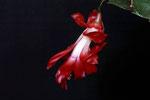 Blüte vom Gliederkaktus