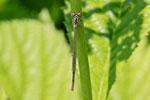 Grosse Pechlibelle, Ischnura elegans