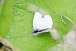 Kleiner Kohlweißling, Pieris rapae