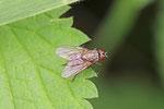 Echte Fliege, Helina sp.
