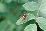 Wespenschwebfliege, Chrysotoxum sp.