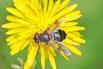 Mittlere Keilflechschwebfliege, weibl., Eristalis interrupta