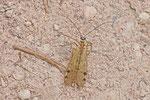 Gebirgs-Skorpionsfliege, Panorpa alpina