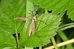 Kohlschnake, weibl., Tipula oleracea