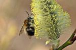 Graue Sandbiene, Andrena cineraria