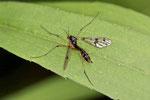 Faltenmücke, weibl., Ptychoptera contaminata