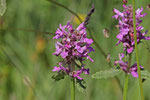Heilziest, Betonica officinalis