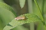Vierpunktige Zierwanze, Adelphocoris quadripunctatus
