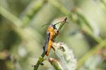 Rothalsiger Weidenbock, Obera oculata