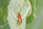 Rotgelber Weichkäfer, Rhagonycha fulva