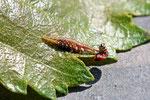 Florfliegen-Larve, Chrysoperla carnea s. l.